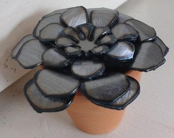 Steel Echeveria Minima Succulent