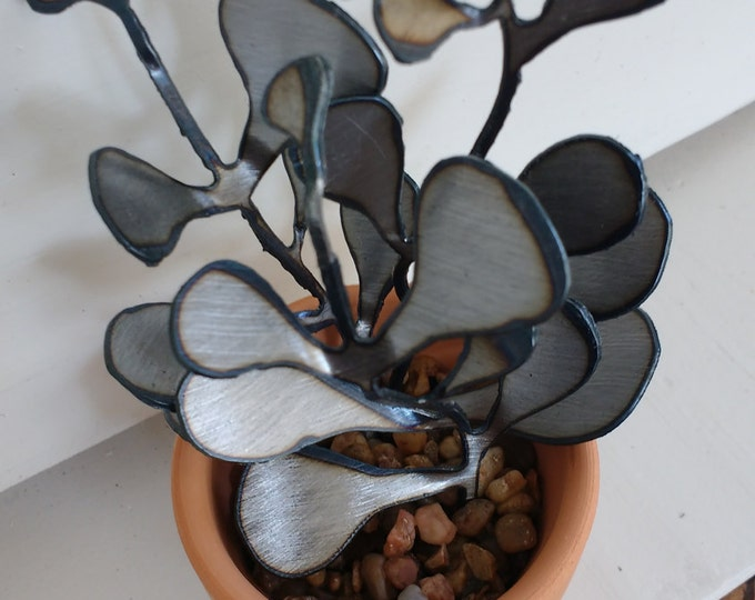 Steel Jade Plant Succulent