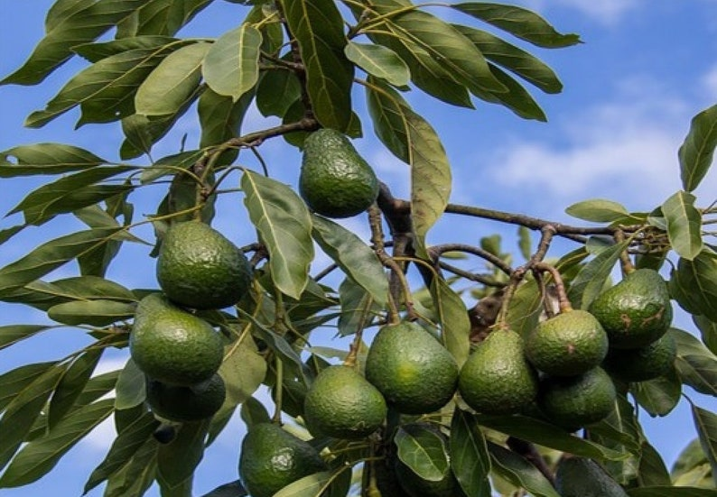 Plant d Avocatier tree shrub fruitier avocado for garden greenhouse balcony terrace