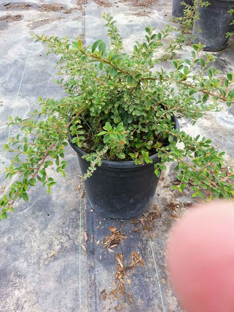 Picture of Live Bearberry Cotoneaster aka Cotoneaster d. 'Lowfast' Plant Fit 1 Gallon Pot