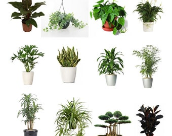 """Combo of 4 Best Air Clean Live Plants Fit 4"""" Pot - Clean Air Plants for Your Home No Two Alike"""