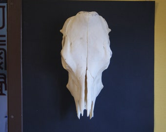 Perfect hornless Cow skull width 20cm (8