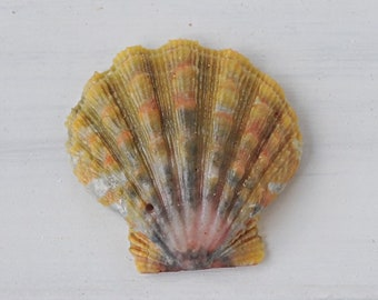 "Hawaiian Sunrise Shell 1 1/4"" , Moonrise Shell 102A"
