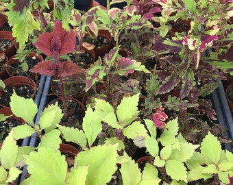 """Coleus, 2"""" pots rooted, varies and sundries sizes and mix CLEARANCE 3 for 5.00!"""