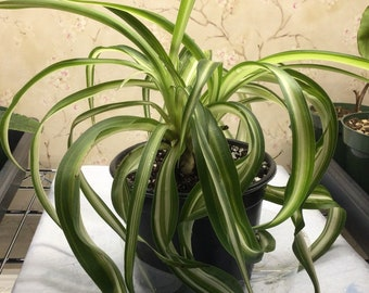 Curly Spider Plant, Bonnie, Spectacular Plant Indoor or Outdoor, Perfect Halloween or other Addition to your home!