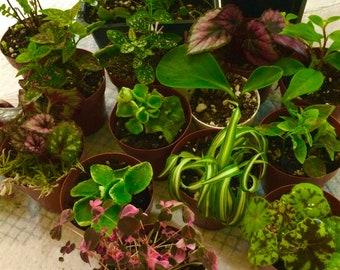 Terrarium Vivarium Plant Bundle Variety of Live Plants, Grown Clean, Fairy Garden Miniature, Tropical