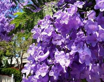 Jacaranda Mimosifolia Live Starter Tree, Bonsai, Landscape, Planter, Purple Blue