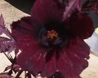 Hibiscus acetosella rare Mahogany Live Plant, not seeds, False roselle