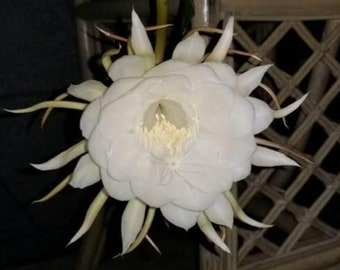 Queen of the Night, Epiphyllum orchid cactus