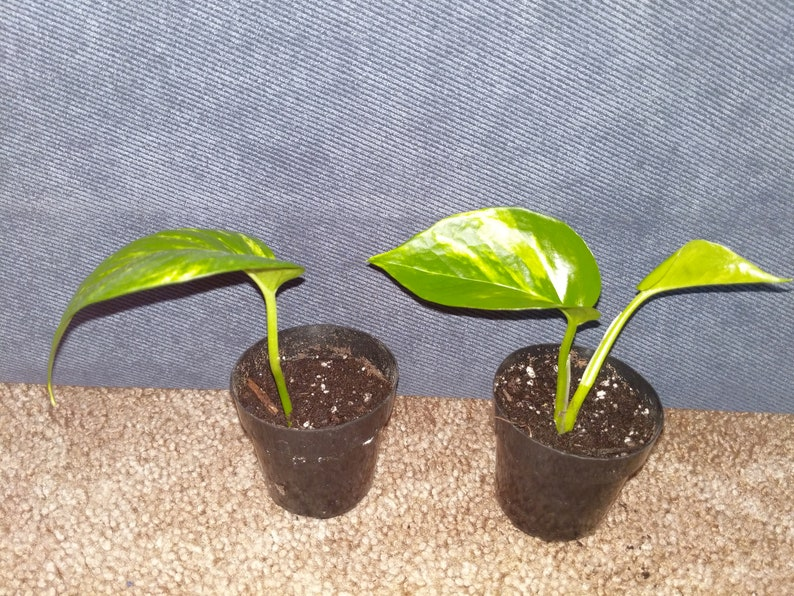 Varigated Pothos Live Plant Cuttings Rooted and Potted
