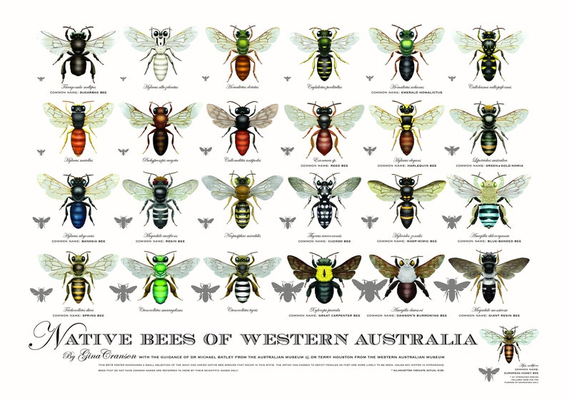 Native Bees of Western Australia poster image 0
