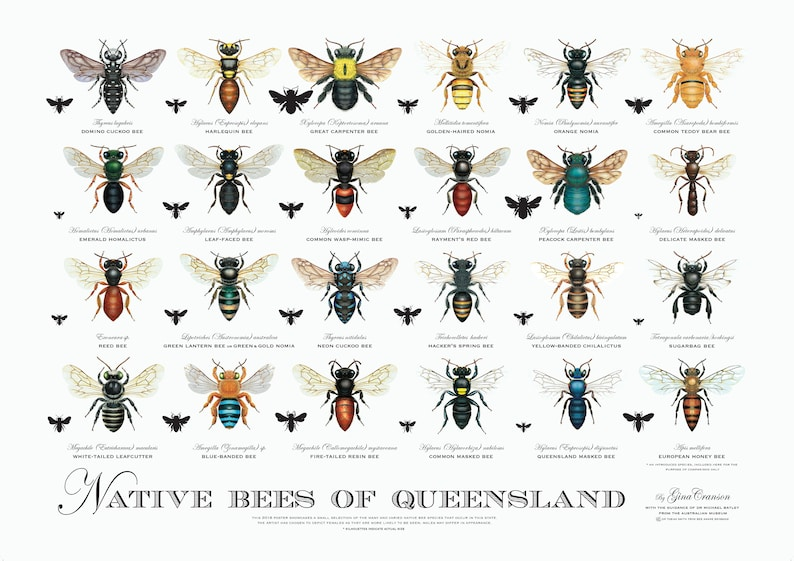 Native Bees of Queensland Poster image 0