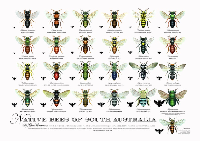Native Bees of South Australia poster image 0