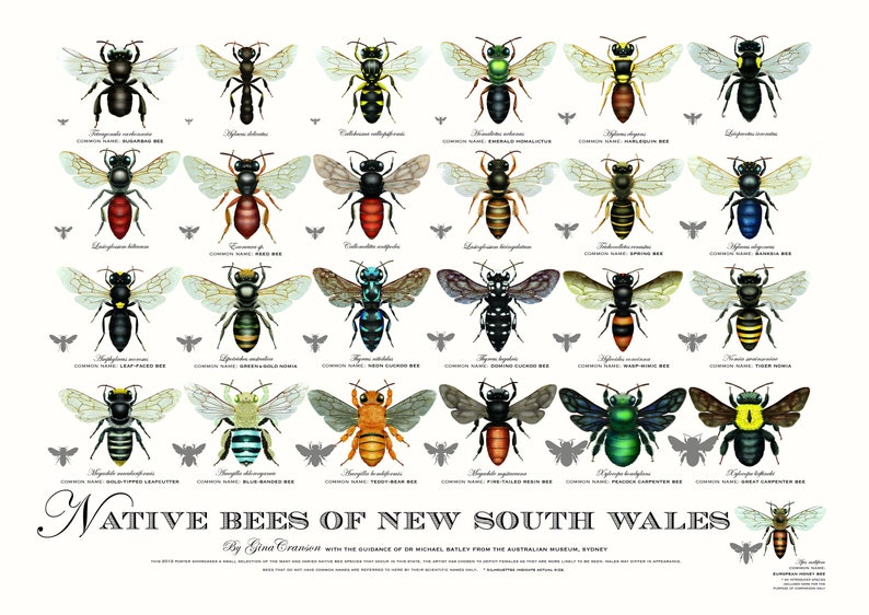Native Bees of NSW Poster 4th edition image 0