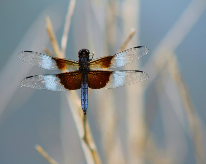 Beauty in Blue, Dragonfly, blue, brown, white male Widow skimmer dragonfly