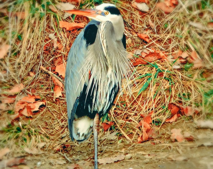 Great Blue Heron, Heron, bird