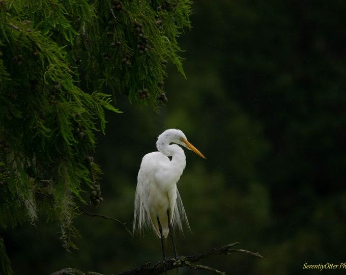 Contemplative Egret