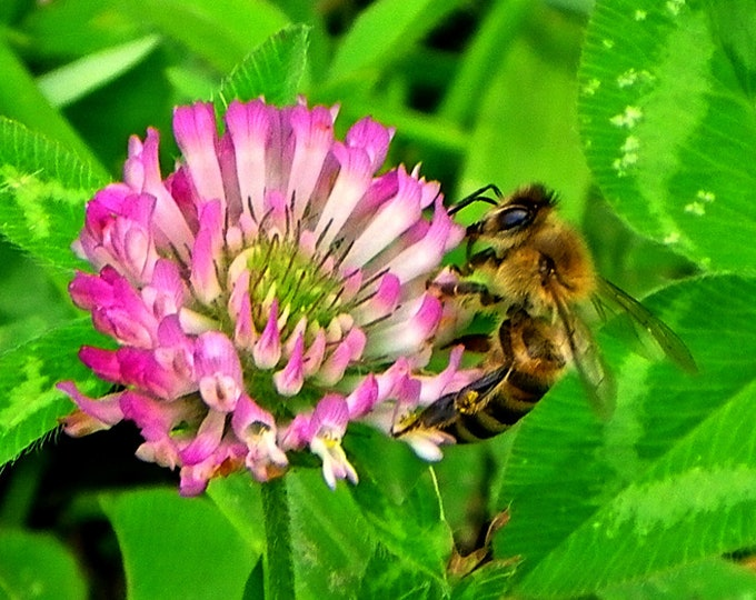 Bee and Clover. Pink clover, bumble bee, green background
