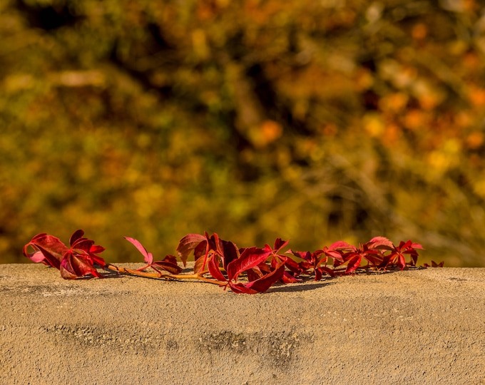 Fall vines on ledge