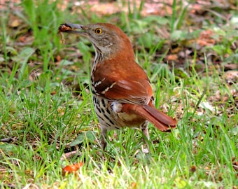 Wood Thrush with bug, bird, bug, brown