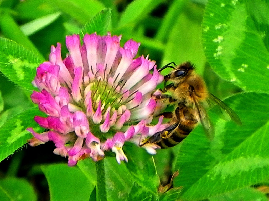 Bee And Clover Pink Clover Bumble Bee Green Background Etsy