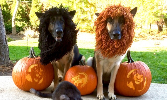 Two German Shepherd dogs wearing lion manes, surrounded by 3 pumpkins.
