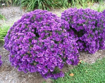 Purple Dome Aster | 1 Quart | Fall Blooming | Novae-angliae | Live Plant | Bee Attracting | Deer Resistant | Long Bloom