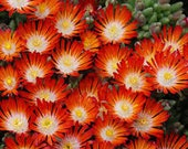 Delosperma Hot Cakes Pumpkin Perfection Live Succulent 4 Inch Pot Ice Plant Orange Bloom Fast Grower Good for Containers Drought Tolerant