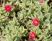 Doreanthus Mezoo Variegated Ice Plant, Deer Resistant, Hanging Baskets, 4 quot Pot, Finely Petaled Deep Rosy Red Flowers
