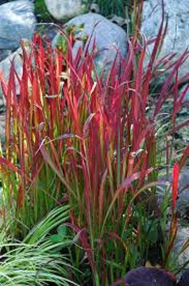 imperata cylindrica red baron japanese blood grass cogon