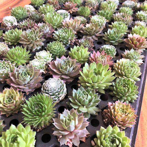 Mini Succulent Plugs Sedum Plants Live Succulent Plants Bulk Etsy