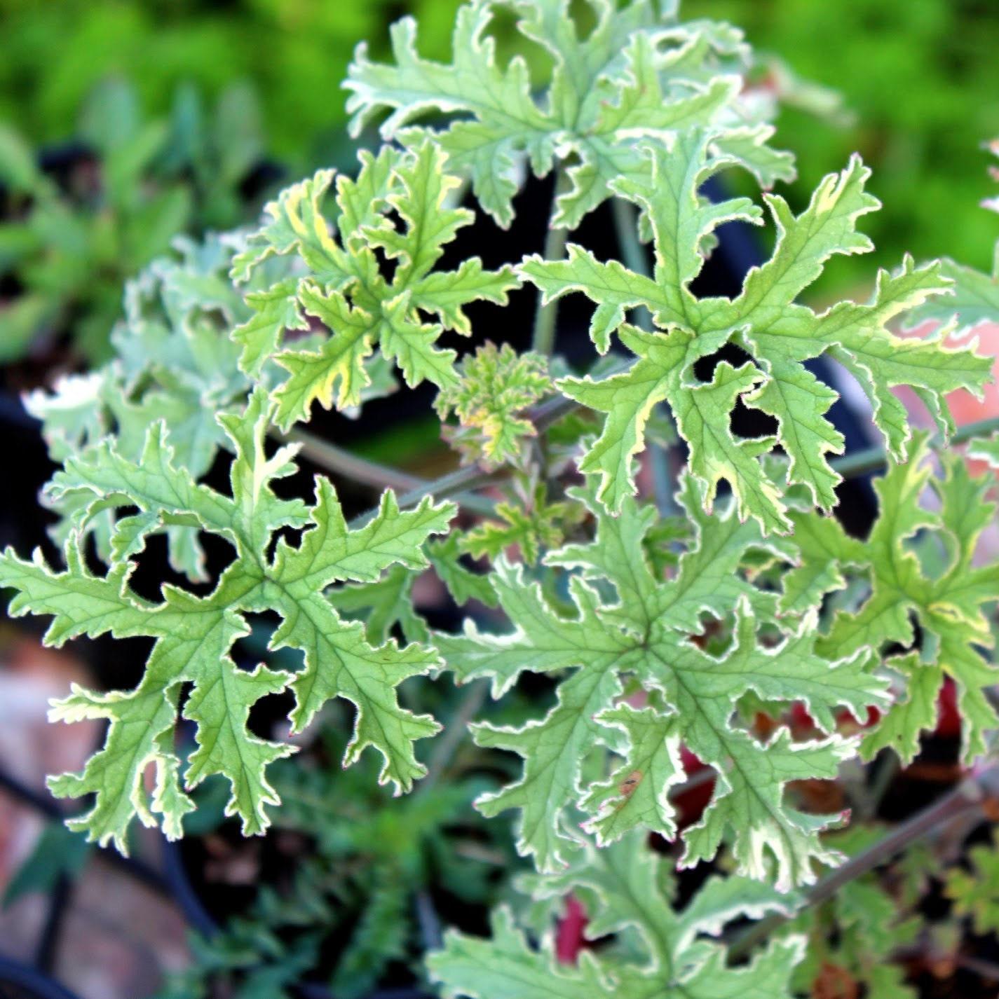 Lady Plymouth Geranium Rose Scented Geranium 4 Pot Etsy