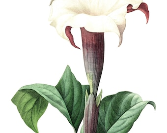 White Flower Print, Botanical Flower, Botanical Datura Laevis, Floral Theme Decor, 8 x 10 inches, Unframed