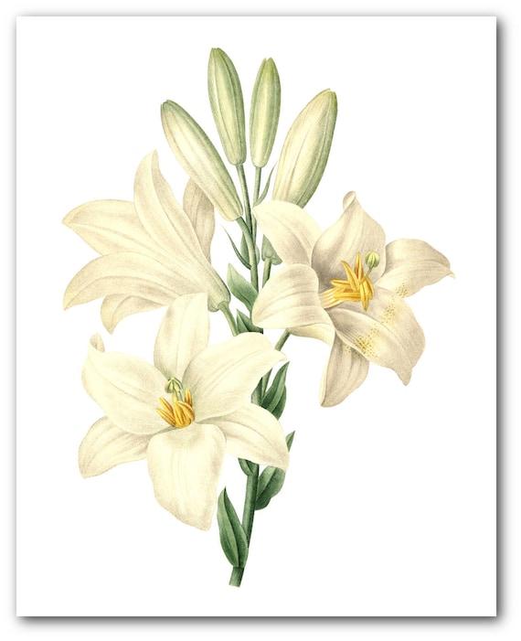 Floral Print Unframed 8 x 10 Inches Botanical Amaryllis Plant