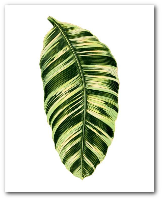Tropical deja grabado botánica Musa Vittata hoja arte | Etsy