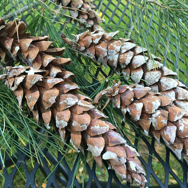 20 Eastern White PINECONES approx 4-6 in size from Vermont
