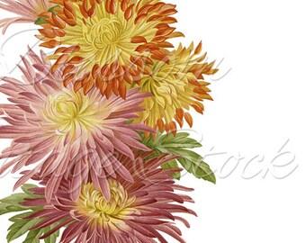 Floral Art, Flower Clipart, Vintage Illustration, Daisies Flowers Antique Illustration for Print, Artwork, Collage - INSTANT DOWNLOAD - 1986