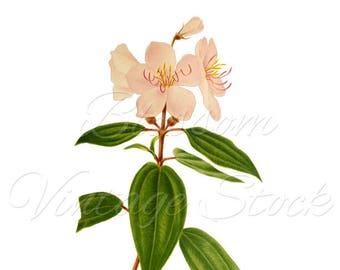 Wall Decor Botanical Printable Flowers PNG Digital Image INSTANT DOWNLOAD Vintage Digital Image, Clipart - 2515