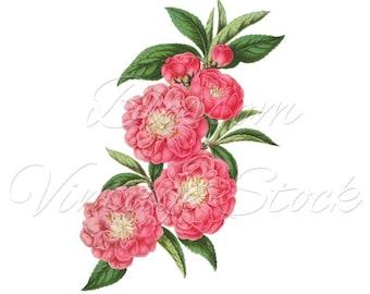 Botanical Print, Digital Download Flowers PNG Digital Image INSTANT DOWNLOAD Vintage Digital Image, Clipart - 2089