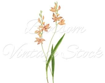 Antique Botanical Illustration, Pink Flowers, Digital Image INSTANT DOWNLOAD Vintage Digital Image, Clipart - 2147