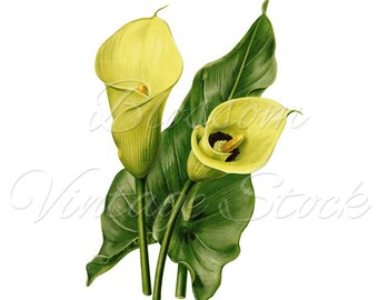 Yellow Calla Flowers Illustration, Clipart Vintage Flowers Digital Image for Print, Artwork, Collage - Digital Image INSTANT DOWNLOAD - 1990