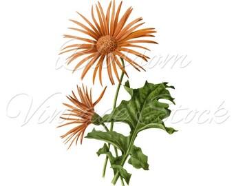 Vintage Botanical Prints, Orange Flowers, Daisies, Antique Illustration Digital Image for Print, Artwork, Collage INSTANT DOWNLOAD -1992