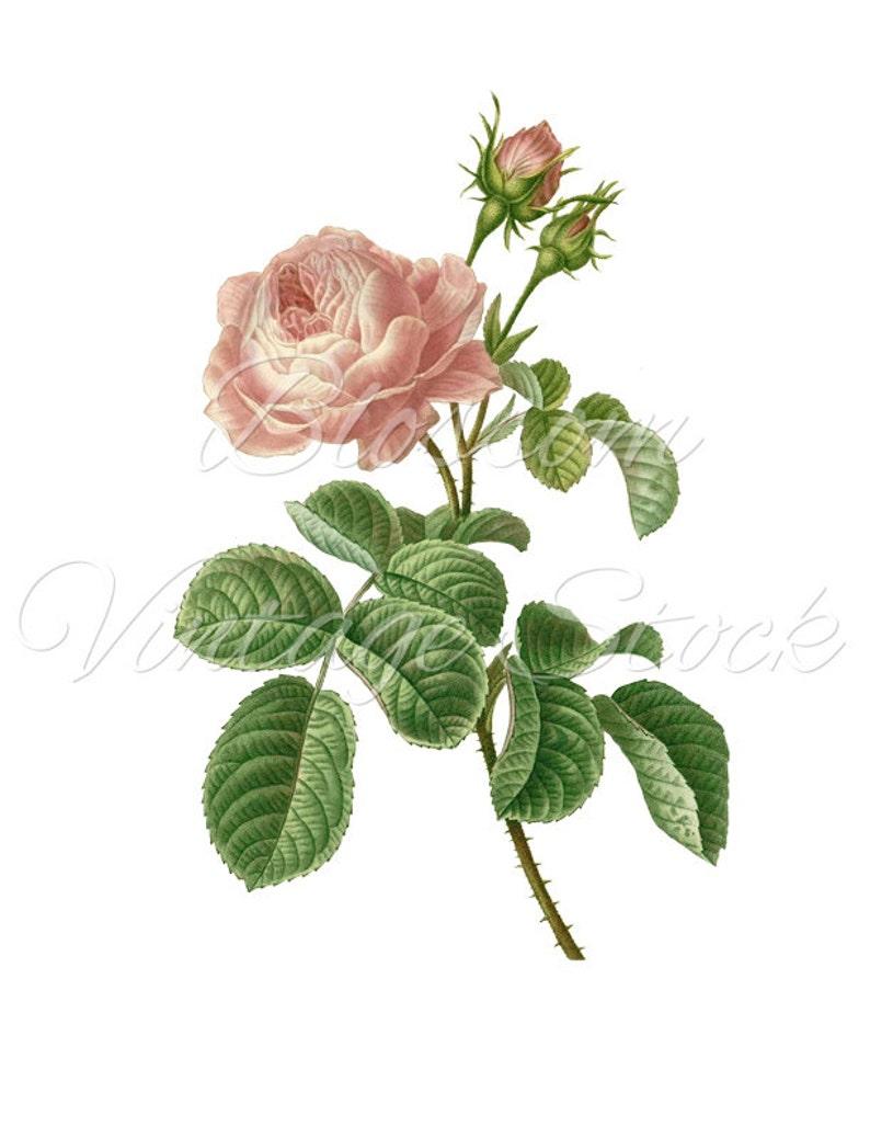 Vintage Rose Vintage Rose Clipart Pink Rose Vintage Graphic Etsy