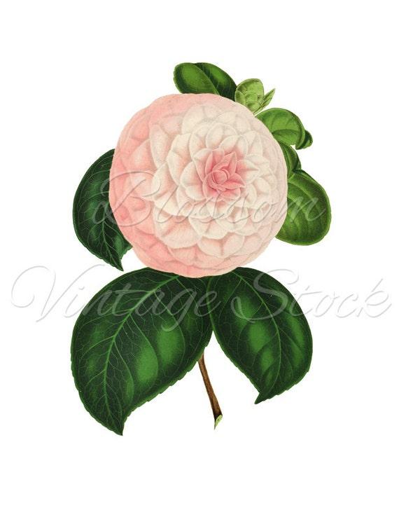 Camelia Illustration Botanique Clipart Fleur De Camellia Png Etsy
