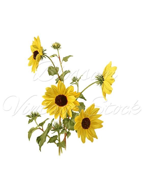 Botanical Print Yellow Vintage Flowers Clipart Vintage
