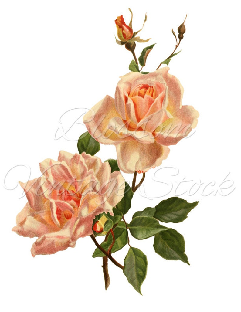 Vintage Rose Clipart Png Pink Rose Image Shabby Chic Rose Etsy