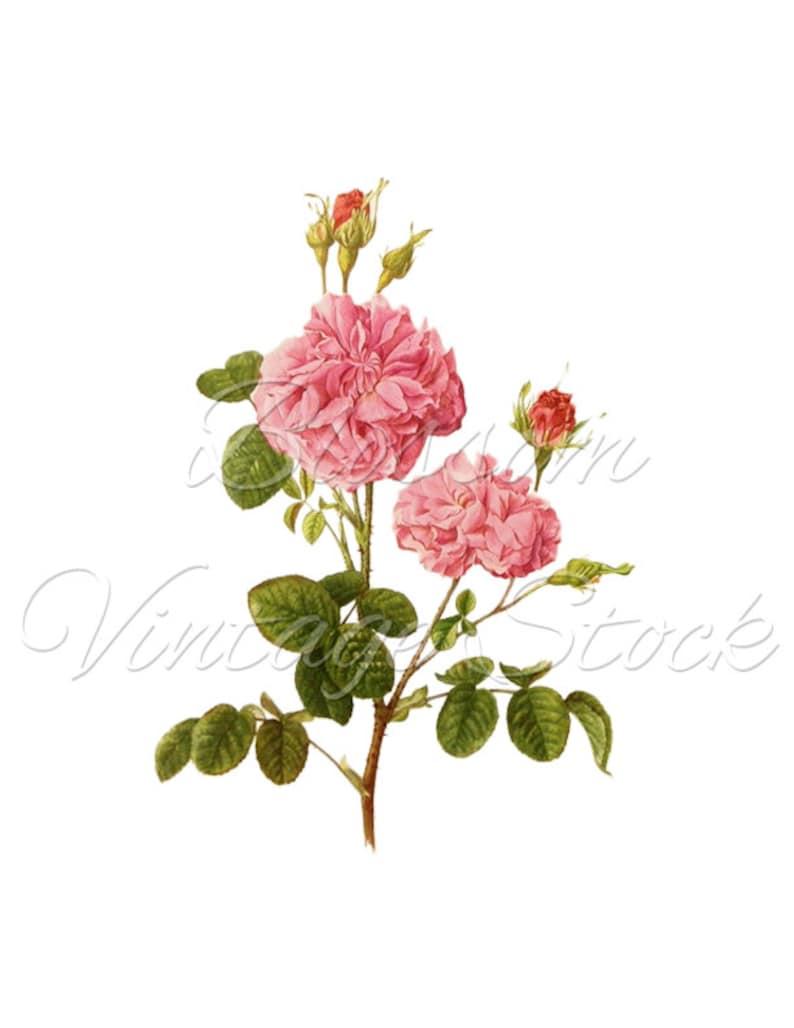 Pink Rose Clip Art Antique Botanical Rose Shabby Chic Png Etsy