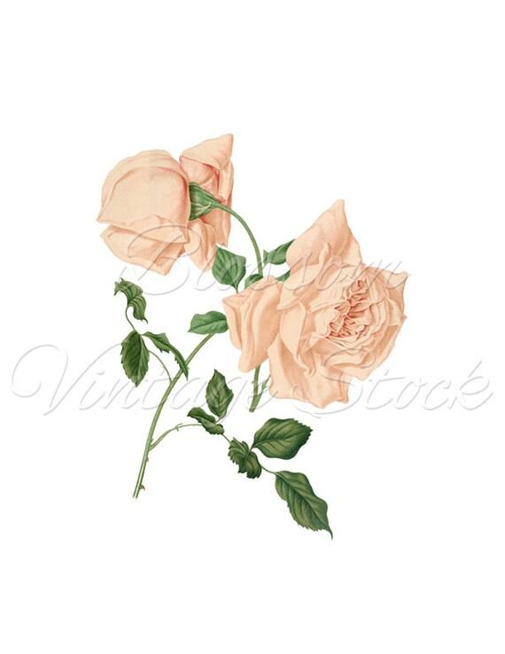 Rose Clipart Pink Antique Rose Png Rose Digital Image Shabby Etsy