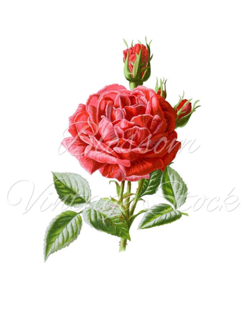 Rose Clipart Pink Rose Png Rose Digital Image Shabby Chic Etsy