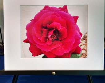 Red Rose Photograph 8x10 matted to 11x14